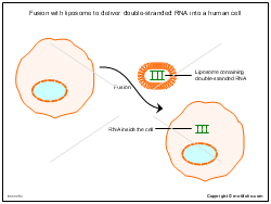 Fusion with liposome to deliver double-stranded RNA into a human cell