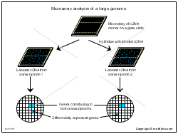 Microarray analysis of a large genome