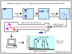Studying a proteome by 2-D gel electrophoresis followed by MALDI-TOF