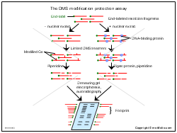 The DMS modification protection assay