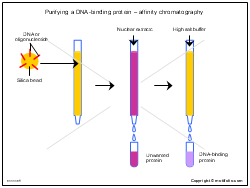 Purifying a DNA-binding protein-affinity chromatography