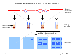 Replication of the yeast genome-microarray analysis
