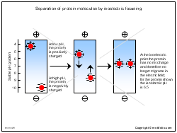 Separation of protein molecules by isoelectric focusing