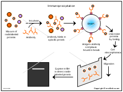 Immunoprecipitation