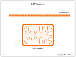 Cell Mitochondrion