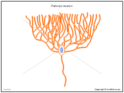 Purkinje neuron