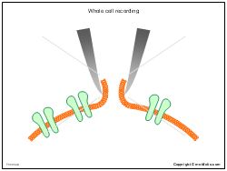 Whole cell recording