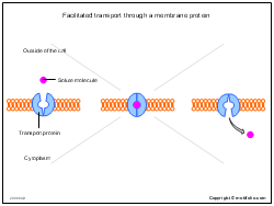 Facilitated transport through a membrane protein