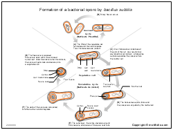 Formation of a bacterial spore by bacillus subtilis