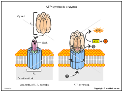 ATP synthesis enzyme