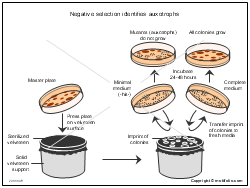 Negative selection identifies auxotrophs