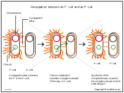 Conjugation between an F+ cell and an F- cell