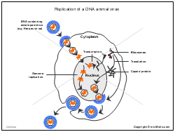 Replication of a DNA animal virus