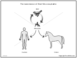 The transmission of West Nile encephalitis