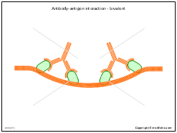 Antibody-antigen interaction - bivalent