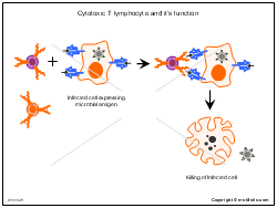 Cytotoxic T lymphocyte and its function