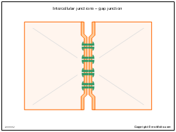 Intercellular junctions - gap junction