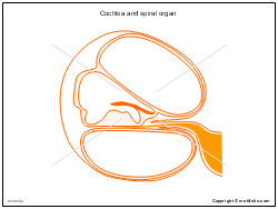 Cochlea and spiral organ