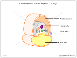 Formation of the lateral body folds - 18 days