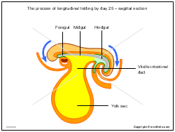 The process of longitudinal folding by day 25 - sagittal section