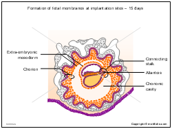 Formation of fetal membranes at implantation sites - 15 days