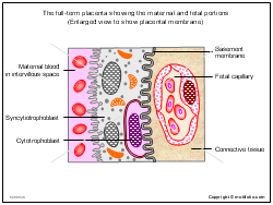 The full-term placenta showing the maternal and fetal portions