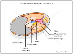 Formation of the diaphragm - a newborn