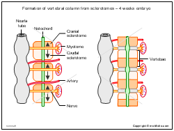 Formation of vertebral column from sclerotomes - 4 weeks embryo