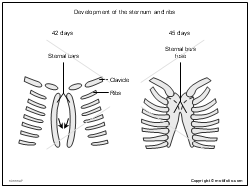 Development of the sternum and ribs