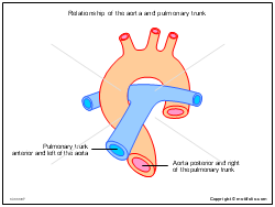 Relationship of the aorta and pulmonary trunk