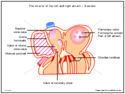 The interior of the left and right atrium - 8 weeks