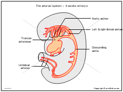 The arterial system - 4 weeks embryo