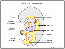 The gut tube - 4 weeks embryo