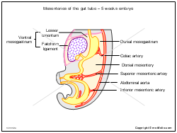 Mesenteries of the gut tube - 5 weeks embryo