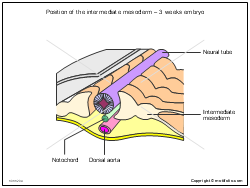 Position of the intermediate mesoderm - 3 weeks embryo