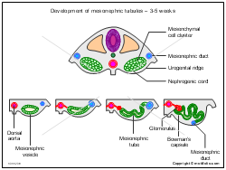 Development of mesonephric tubules - 3-5 weeks