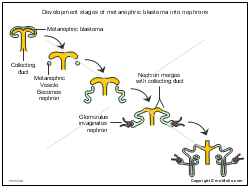 Development stages of metanephric blastema into nephrons