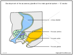 Development of the accessory glands of the male genital system - 12 weeks