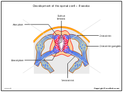 Development of the spinal cord - 8 weeks