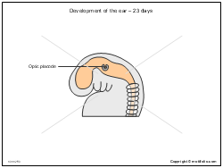 Development of the ear - 23 days
