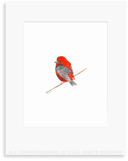 Scarlet Tanager - 8 x 10 Print in 11 x 14 Mat