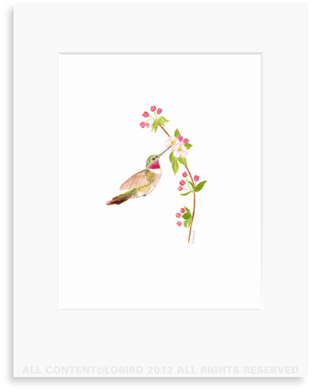 Ruby Throated Hummingbird- Apple Blossom - 8 x 10 Print in 11 x 14 Mat