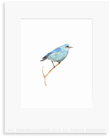 Mountain Bluebird - 8 x 10 Print in 11 x 14 Mat