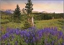 Lupine Sunset - Note