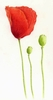 Red Poppy By Design