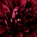 * Striking Maroon Flower Hair Clip or Clip Brooch 402