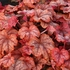 "heucherella Copper Cascade [8""]<br>^^^ SOLD OUT ^^^"