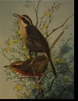 FUERTES:  ROSE-BREASTED THRUSH TANAGER</a><br><b>- SOLD</b>