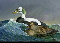 BIERLY:  SPECTACLED EIDERS
