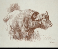 KUHN:  CAPE BUFFALO SKETCH (OLD STUD</a><br><b>- SOLD</b>